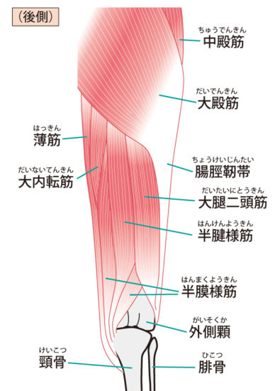 股関節後面の筋肉のイラスト