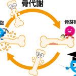 骨代謝のイラスト